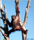 Re: Orang Utans, anyone?
