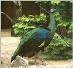 Re: colorful exotic birds please, Java Green Peacock