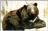 Korean black bear (반달곰)