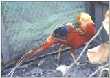 Golden Pheasant (Normal/Red)