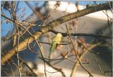 Birds from the Netherlands - rose-ringed parakeet1.jpg