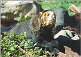 Spectacled Bear #1