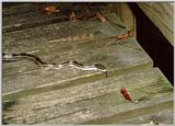 Snake on boardwalk - Congaree Swamp - Columbia, SC - snake01.jpg