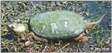 Re: REQ: Common Snapping Turtle, Eastern Painted Turtle, Soft-shell Turtle