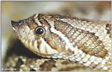 Re: Western Hognose