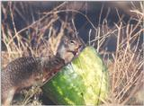 Calif ground squirrel 127kb
