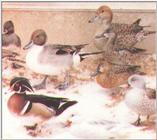 Waterfowl: Mixed Collection