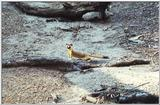 Re: has anyone a picture of a weasel for me? -- Long-tailed Weasel