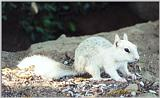 white ground squirrel 70k jpg