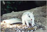white ground squirrel 49k jpg