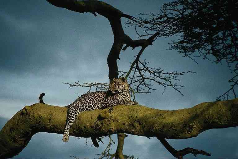 Leopard-in-Tree; Image ONLY