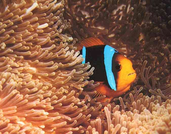Anemone-Fish; Image ONLY