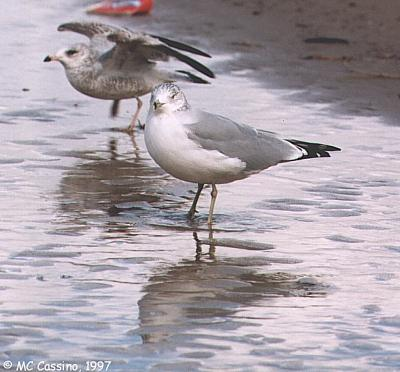 Gulls - gull06.jpg; Image ONLY