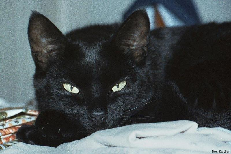 Cats: Black cats - Chantilly; DISPLAY FULL IMAGE.