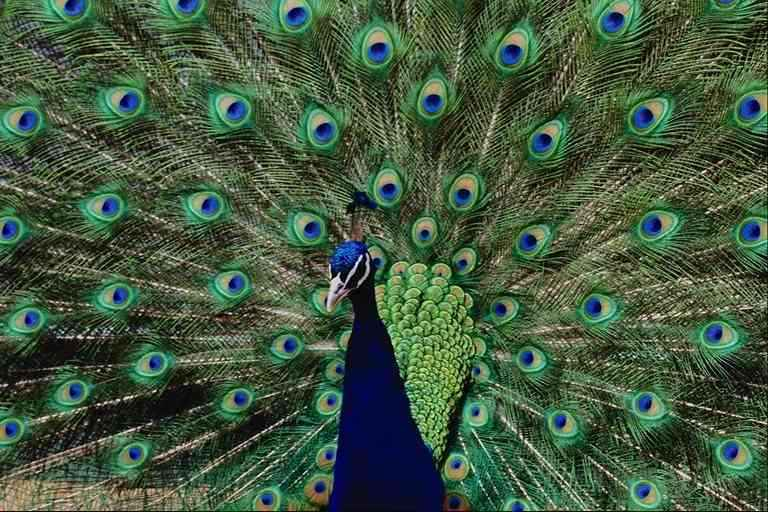 Peacock; Image ONLY