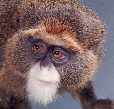 Dabrazzas Monkey; Image ONLY