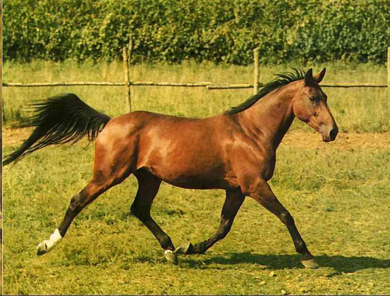 Horses003-Bay Quarter Horse-by Trudie Waltman.jpg