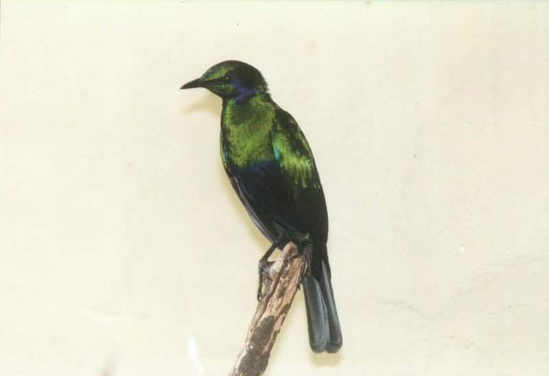 Birds from El Paso Birdpark - glossy_starling3.jpg; DISPLAY FULL IMAGE.