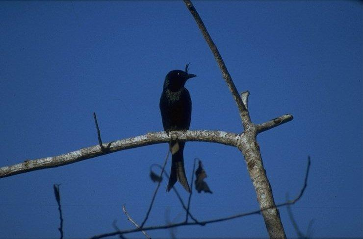 Animals from Madagascar - crested_drongo.jpg; Image ONLY