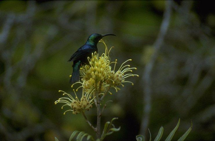 Animals from Madagascar - noted_sunbird.jpg; Image ONLY