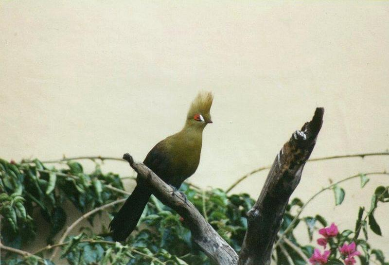 Birds from El Paso Birdpark - turaco1.jpg; DISPLAY FULL IMAGE.
