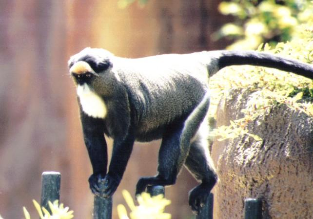 Re: Misc animals from the San Diego Zoo - Random african monkey; Image ONLY