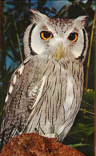 Re: OWLS --> White-faced Scops Owl (Otus leucotis); Image ONLY