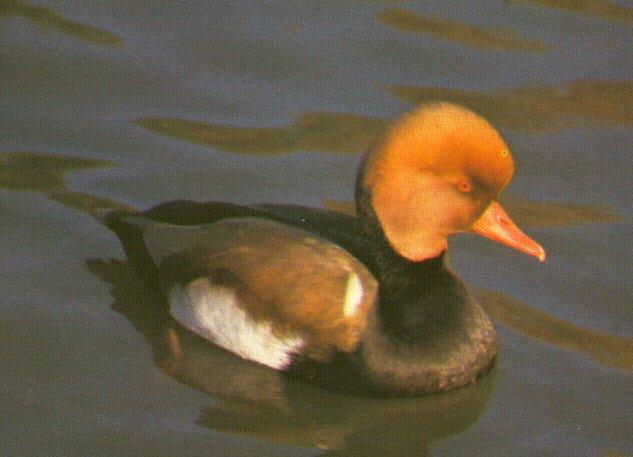 Red-crested Pochard; Image ONLY