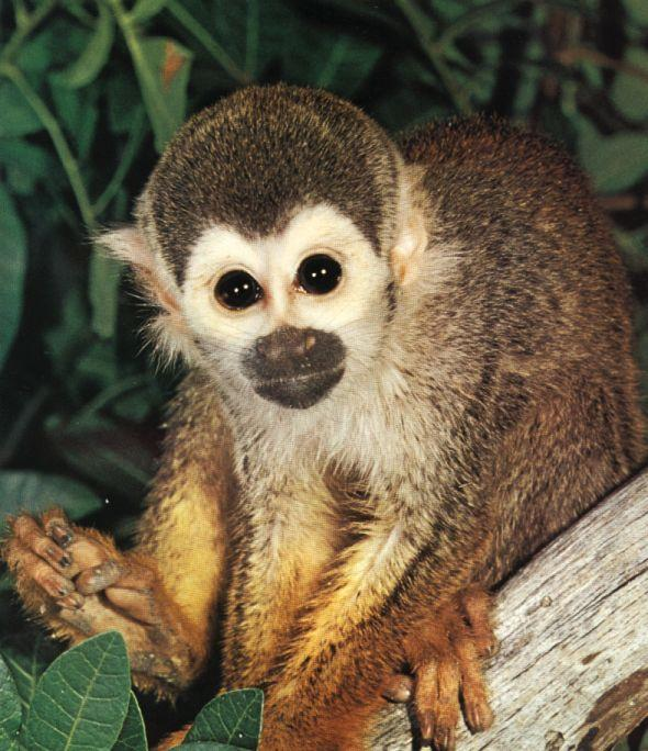 Squirrel Monkey; Image ONLY