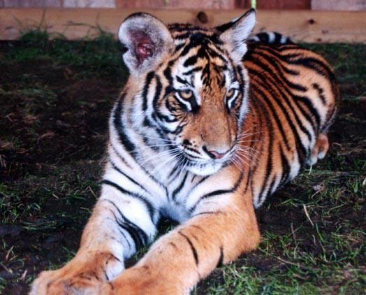 Tiger cub close 1-by Denise McQuillen.jpg