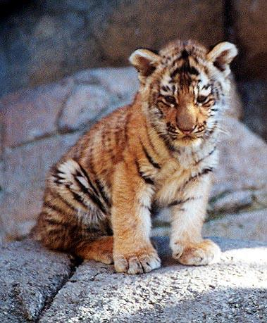 Tiger cub sit-from Indy Zoo-by Denise McQuillen.jpg