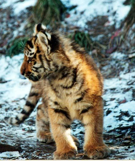 Tiger cub snow-from Indy Zoo-by Denise McQuillen.jpg
