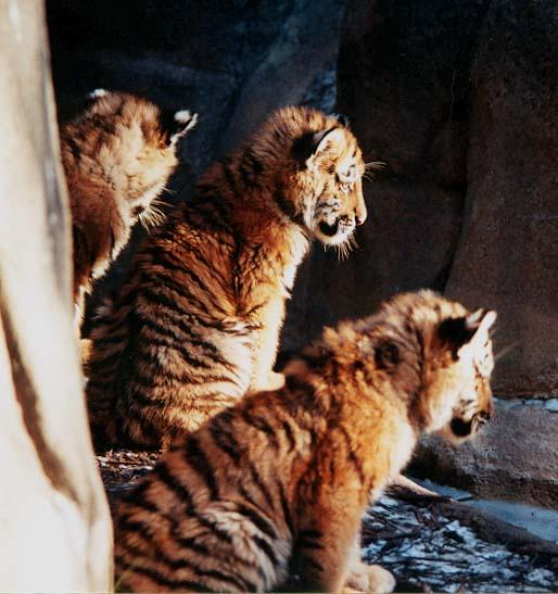 Tiger cubs in a row-from Indy Zoo-by Denise McQuillen.jpg