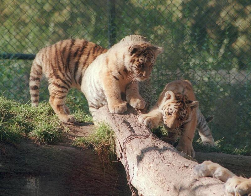 Hagenbeck Zoo Siberian tiger cubs - three quarters of the CATastrophe :-); DISPLAY FULL IMAGE.