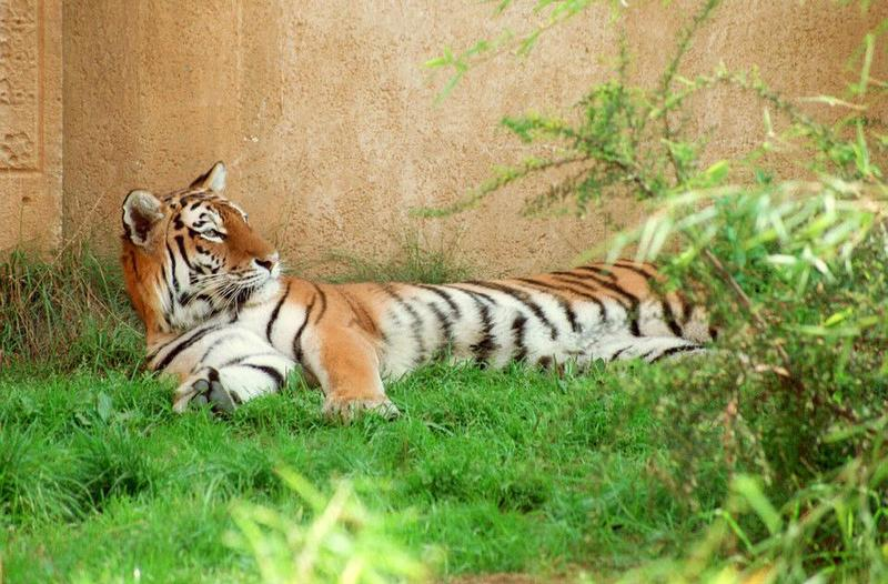 Still not out of Siberian tiger pics- Siberian doing the rug thing - and my WWW page updated; DISPLAY FULL IMAGE.