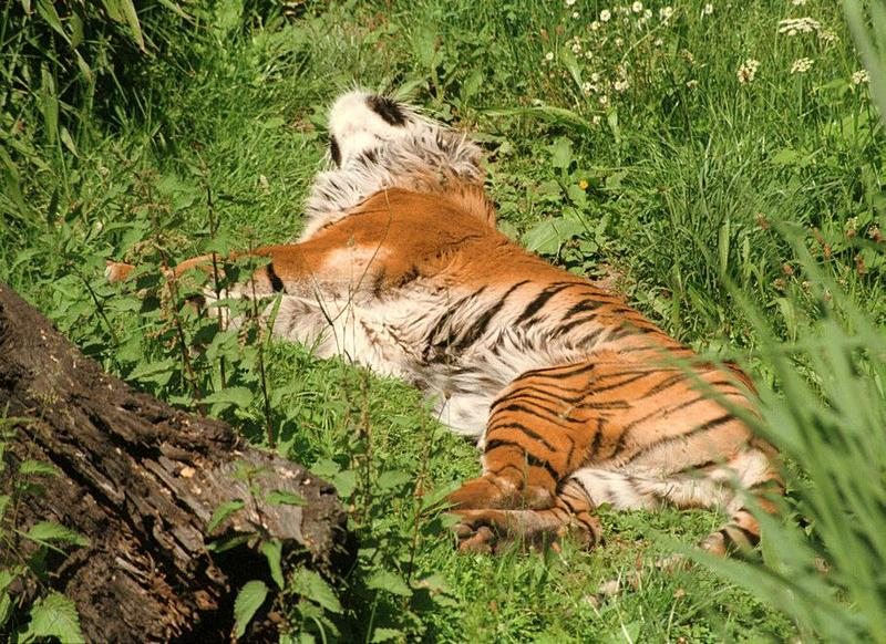 More Wilhelma Zoo pictures - the 20 year old Sumatran tigress doing the rug thing; DISPLAY FULL IMAGE.