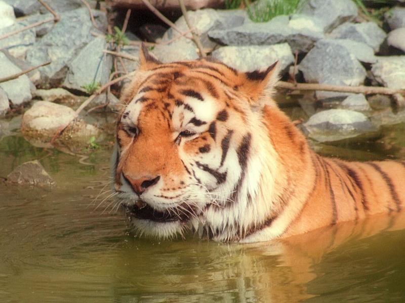 Tigerswim002-from Hagenbeck Zoo-by Ralf Schmode.jpg