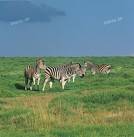 Tongro Photo-i36-zebras; Image ONLY