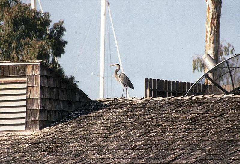 California souvenirs - Waterfowl on a roof in Point Loma - Please identify; DISPLAY FULL IMAGE.