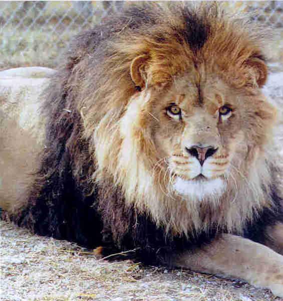 最大的老虎多大