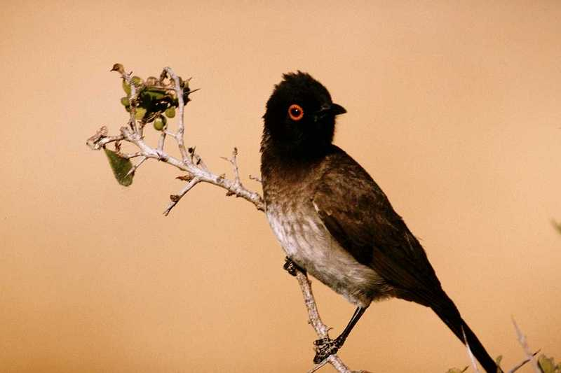 IDENTIFY this bird - Red-eyed Bulbul?; DISPLAY FULL IMAGE.