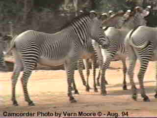 Grevy's Zebra at Samburu, Kenya; Image ONLY