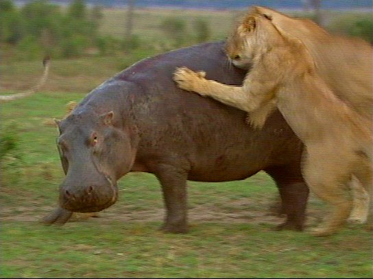 mm Lions Attacking Hippo 02-captured by Mr Marmite.jpg