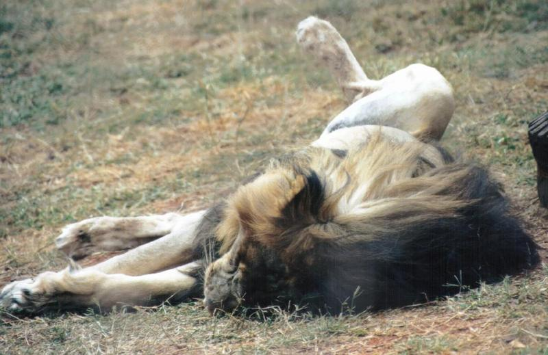 Re: More big cats from the Nairobi animal orphanage; DISPLAY FULL IMAGE.