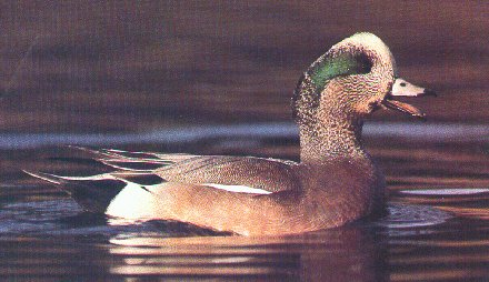 AmericanWigeon1-floating-by Dan Cowell.jpg