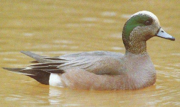 American wigeon01-floating on water-by Dan Cowell.jpg