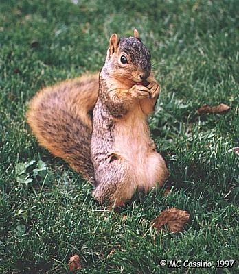 CassinoPhoto-Fox Squirrel02-eating nut on grass.jpg