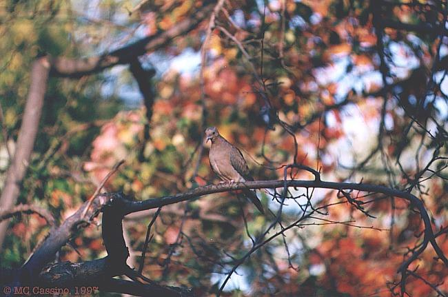 Mourning Dove In Autumn Foliage - mourning_dove02.jpg; Image ONLY