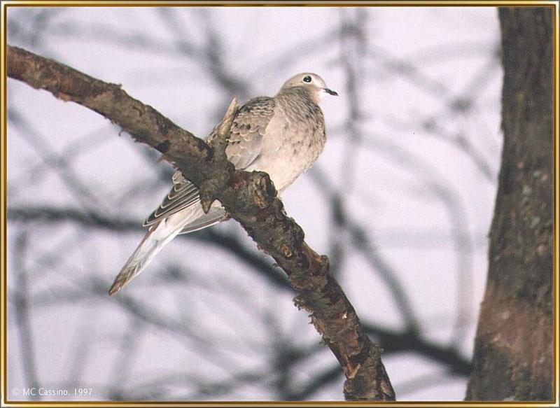 CassinoPhoto-mourning dove03.jpg