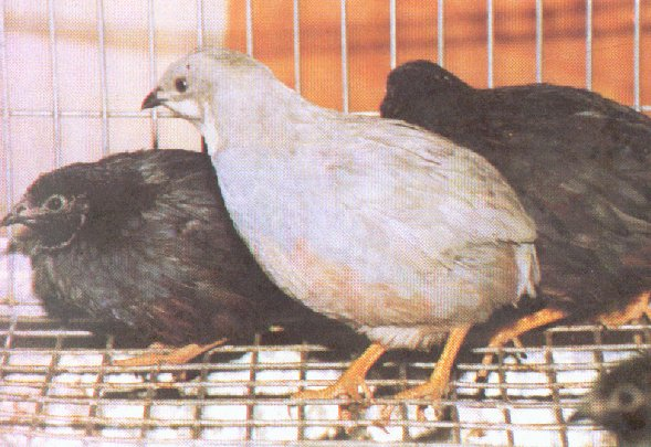 Chinese Painted (Button) Quail; Image ONLY
